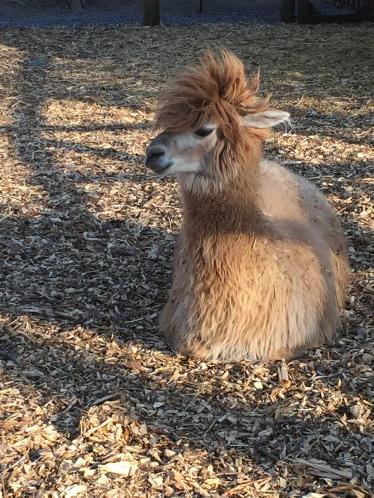Cute Llama, Érablière Charbonneau
